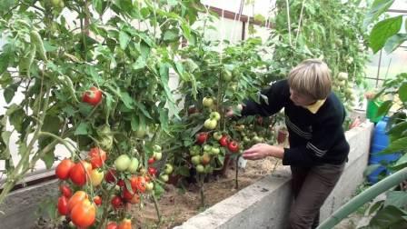 томат спрут уход