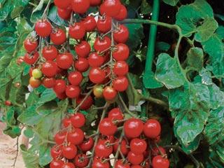 томат спрут f1