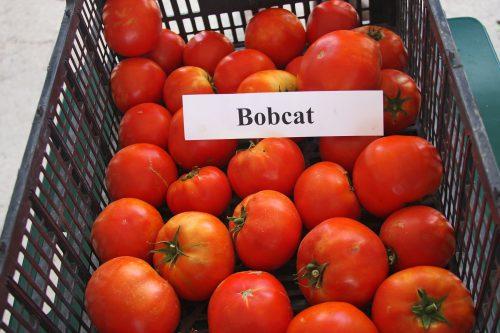 Томаты Бобкат урожай