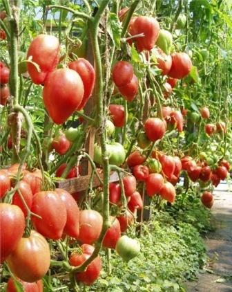 чудо земли выращивание