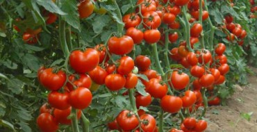 томат сибирский скороспелый выращивание