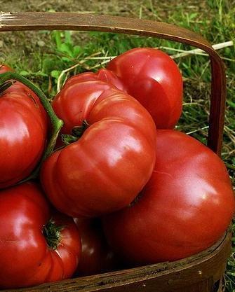 томат кардинал описание сорта