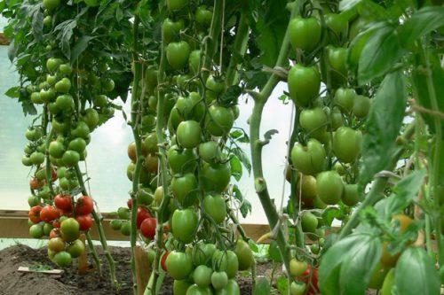 томат леопольд f1