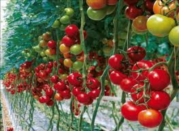 помидоры сорт леопольд