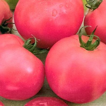 помидор ляна розовая