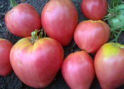 помидоры вельможа