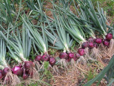 урожай красного сладкого лука