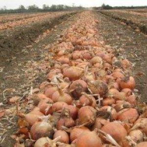 лук геркулес урожай