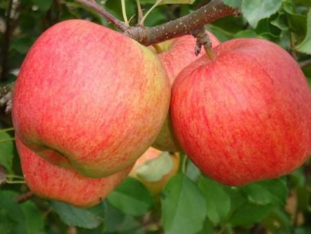 урожай яблок чемпион