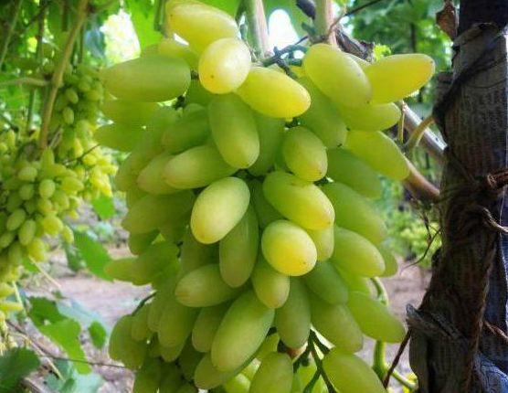 виноград тимур белый