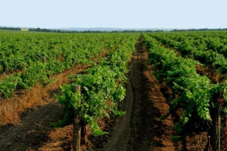 виноград молдова выращивание
