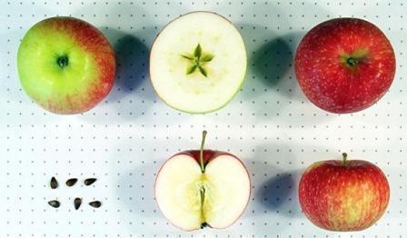 характеристика яблок мельба