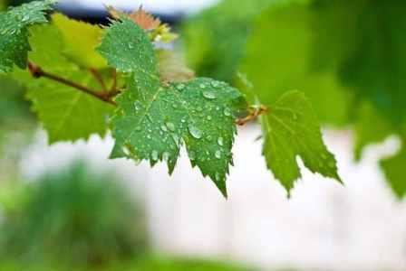 полив винограда тимур