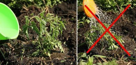 томат волгоградский полив