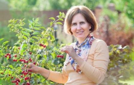 ручной сбор вишни