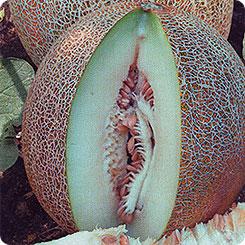 Дыня американский ананас