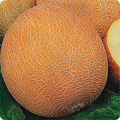 Дыня сладкий ананас f1