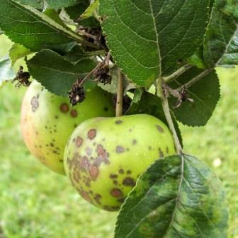 парша на яблочках