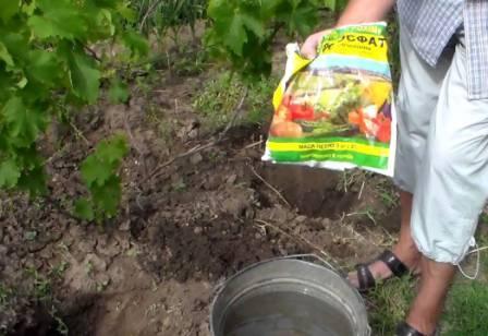 подкормка винограда симпатия
