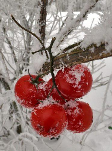 Томат Яблоки на снегу