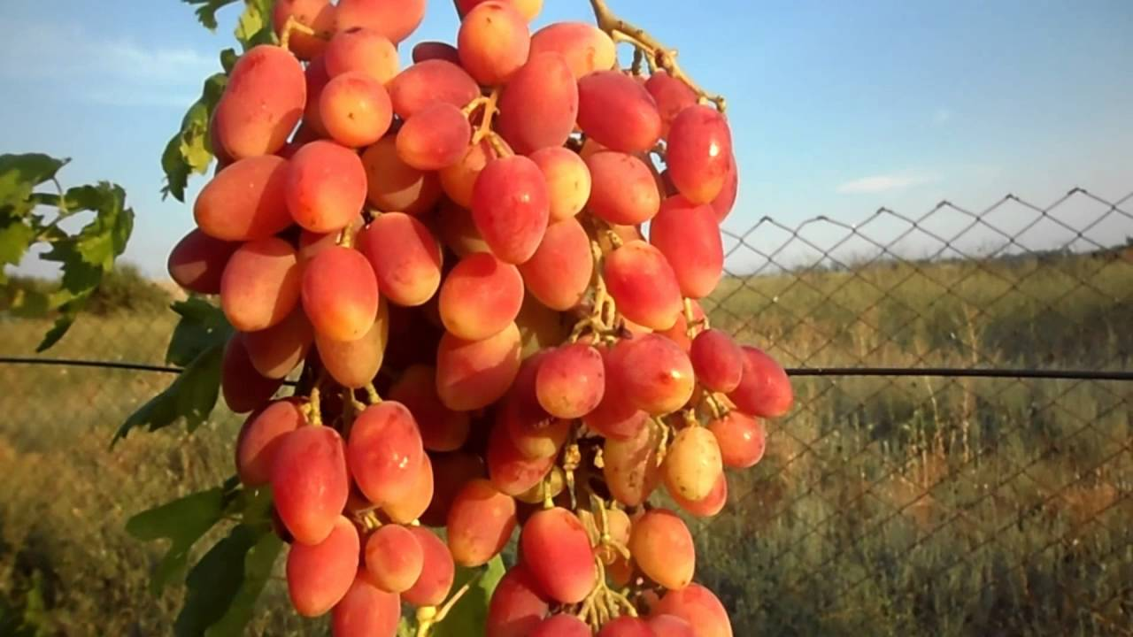 Виноград Ксения или Анжелика