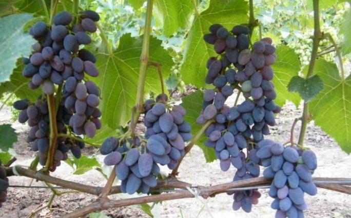 Виноград сорта Юпитер