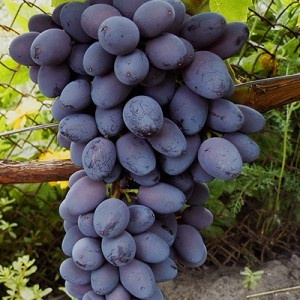 Посадка винограда Юпитер