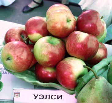 урожай яблони Уэлси
