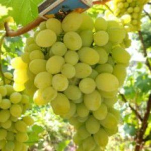 Августин виноград агротехника сорта