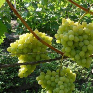 Августин виноград уход