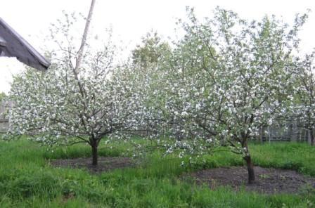 яблоки мельба цветение