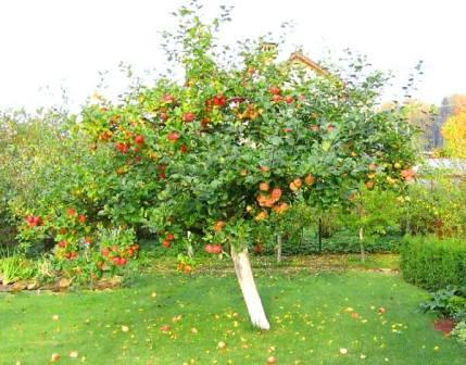 яблоня Уэлси выращивание
