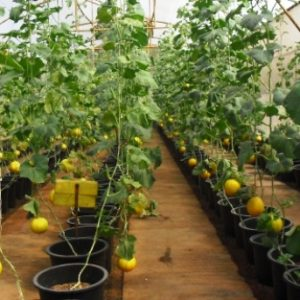 Выращивание Алтайской дыни