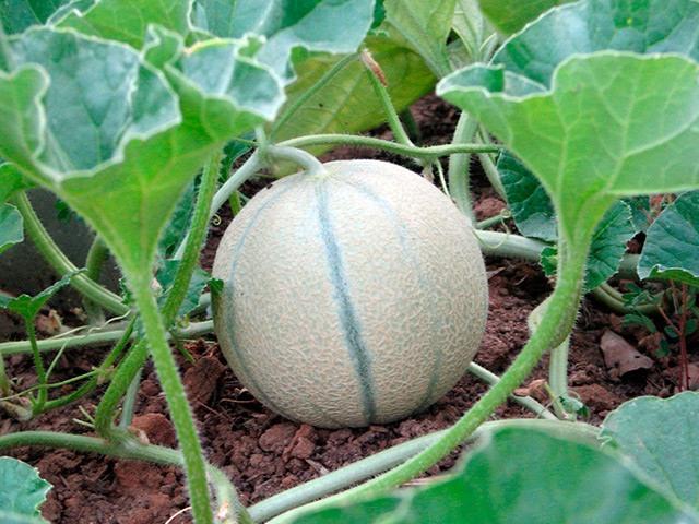Выращивание дыни канталупа