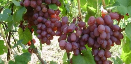 виноград симпатия лоза