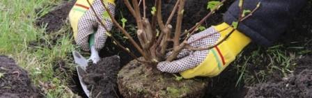как посадить вишню осенью