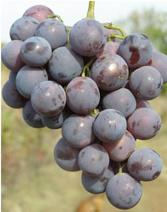 гроздь винограда кардинал