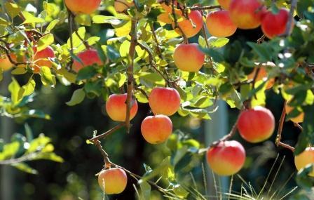 яблони, устойчивые к парше