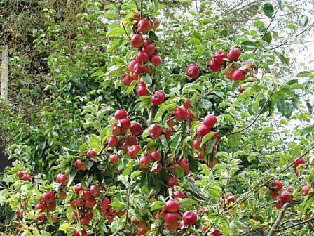 яблоня медуница выращивание