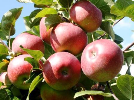 яблоня лобо урожай