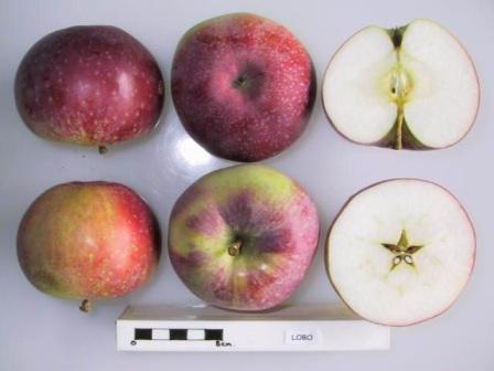 описание яблок лобо