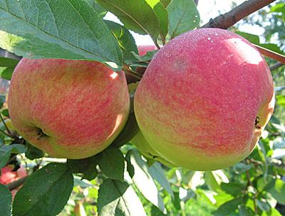 плоды яблони медуница