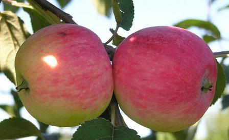 яблоня мельба описание