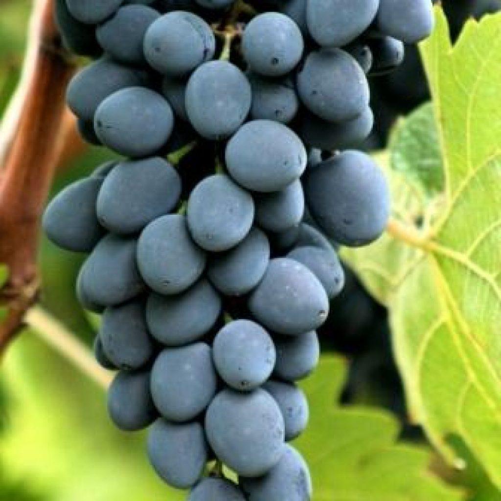 Подарок магарача виноград описание сорта с