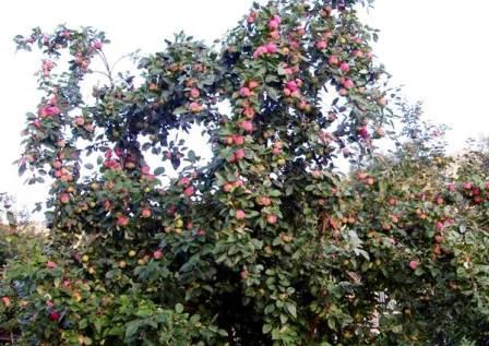 деревья яблони мельба