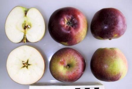 плоды яблони спартан