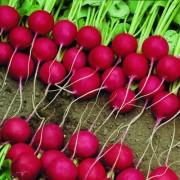 Выращивание редиса Сора