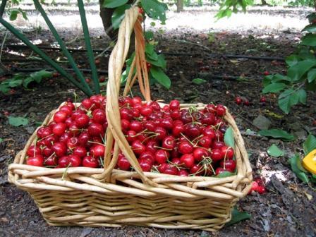 как собрать урожай вишни