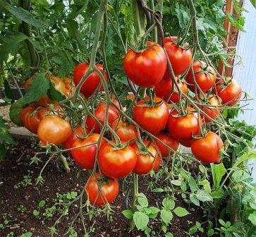выращивание томата юбилейный тарасенко