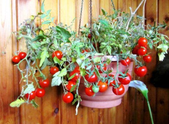 уход за помидорами балконное чудо